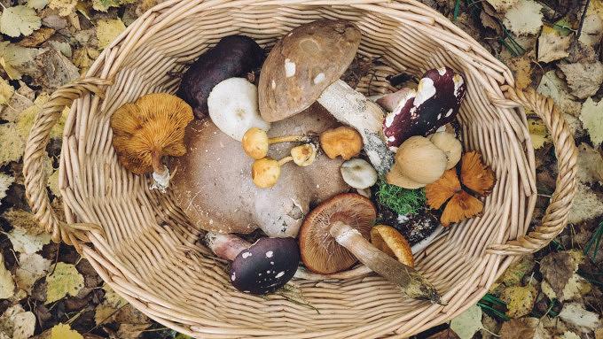 Pilze sammeln Schwammerl