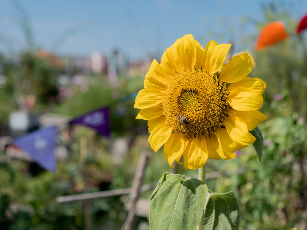Bahngarten, Sonnenblume