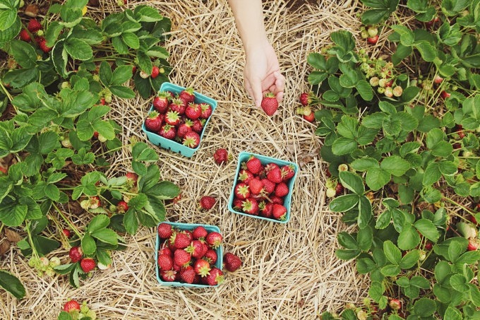 Erdbeeren Erdbeere