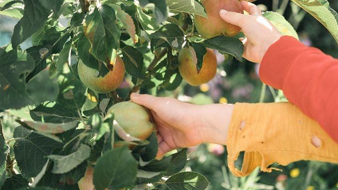 Apfelernte Herbst draußen sein